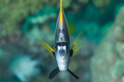 BD-121128-Aqaba-7573-Heniochus-intermedius.-Steindachner.-1893-[Red-sea-bannerfish].jpg